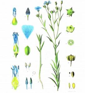the-flax-plant-linum-usitatissimum